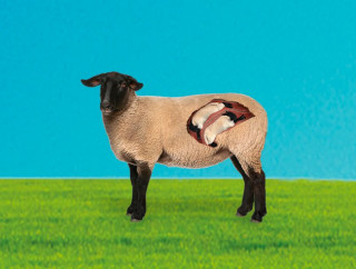The Role Of Trace Element Nutrition for Sheep Health, Wellbeing and Fertility