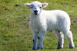 lamb product